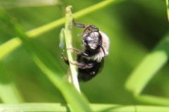 4-Graue-Sandbiene-Andrena-cineraria-