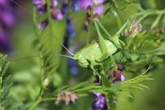 5-Grünes-Heupferd-Tettigonia-viridissima