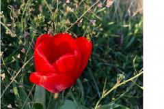 Gartentulpe-im-Weinberg-mit-Hirtentäschel