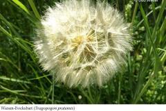 Wiesen-Bocksbart-Tragopogon-pratensis-