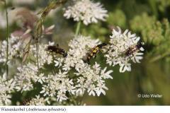 Wiesenkerbel-Anthriscus-sylvestris-