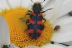 Zottiger-Bienenkäfer-Autor-und-Unterschrift