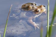 Erdkrötenpaar