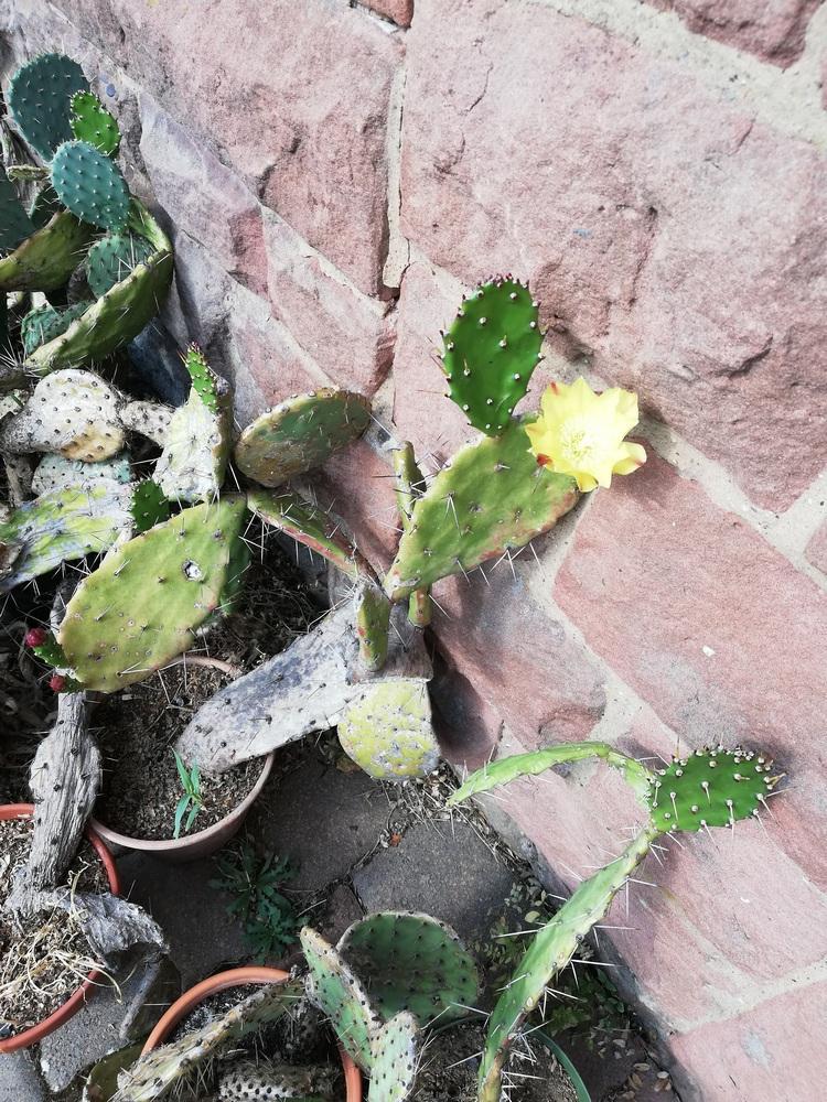 Opuntienblüte-klein