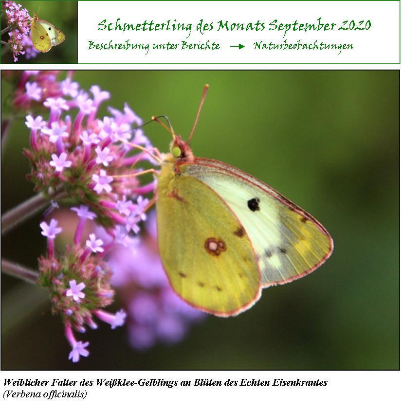 Schmetterling-des-Monats-September-2020