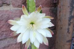 Säulenkaktusblüte_klein